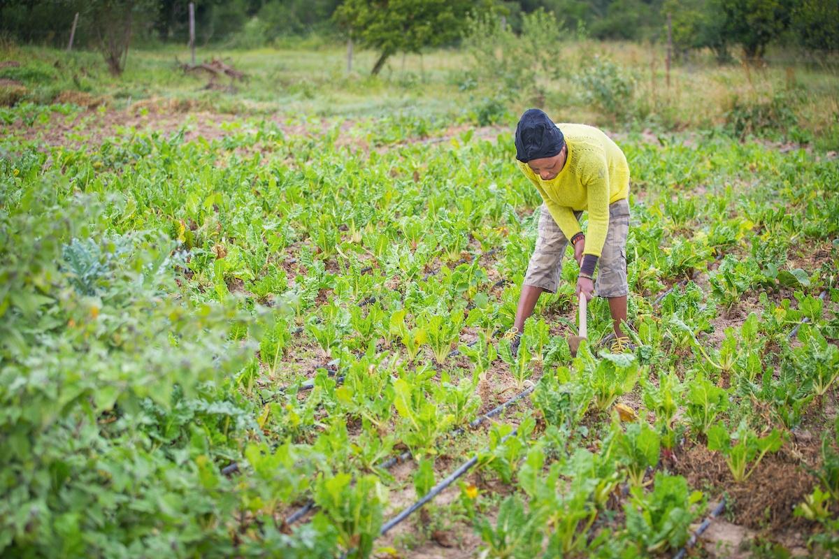 Lady farmer in Africa in field of crops watering plants
